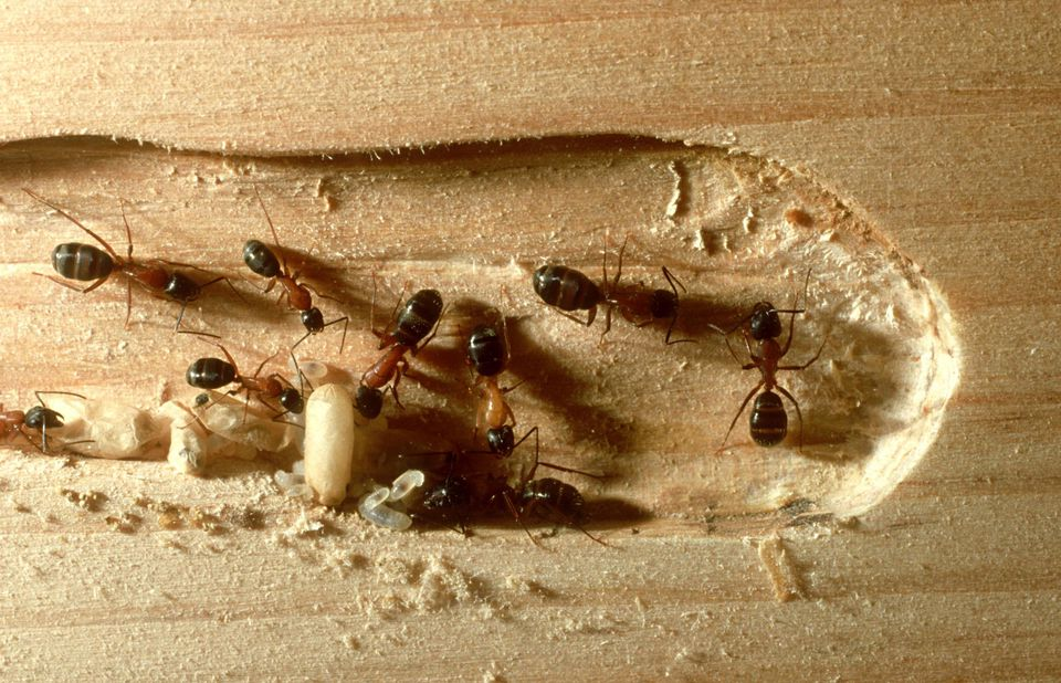 How To Get Rid Of Carpenter Ants: DIY Tips And Extermination Cost