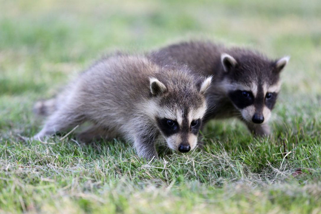 How To Get Rid Of Raccoons Cost Amp Diy Tips