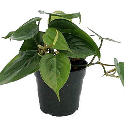 1. Heart Leaf Philodendron
