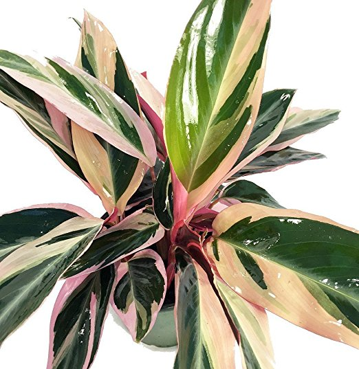 5. Tricolor Prayer Plant - Stromanthe Triostar