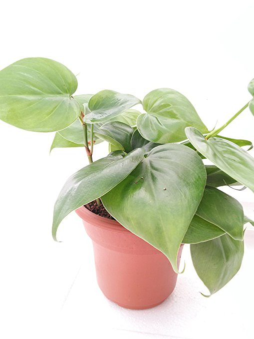 8. JM BAMBOO Heart Leaf Philodendron