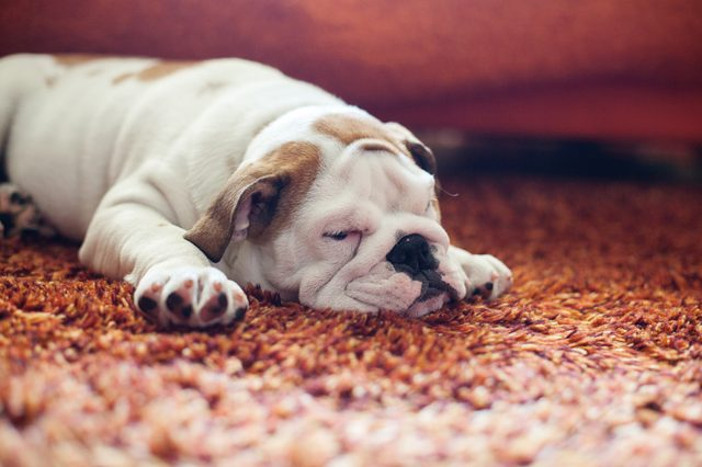 The Best Carpet Choices For Pets Jocoxloneliness