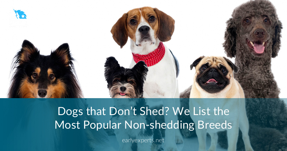 Dogs That Don\'t Shed? Here\'s the Breeds to Go For! | ContractorCulture